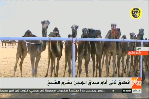 بث مباشر انطلاق ثاني أيام سباق الهجن بشرم الشيخ