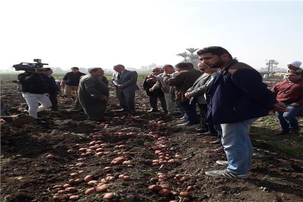 زراعه البطاطس لأول مرة في بني سويف تضاعف إنتاجية المحصول وتوعية صغار المزارعين بالممارسات المفيدة في الزراعة