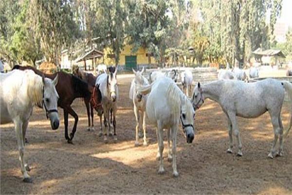 حقيقة نفوق أعداد كبيرة من الخيول العربية الأصيلة بمحطة الزهراء